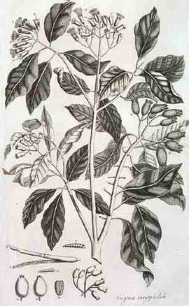 Kruidnagelen (bron: Amboinsch Kruidboek door G.E. Rumphius)