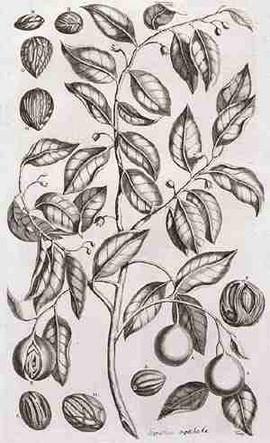 Nootmuskaat en foelie (bron: Amboinsch Kruidboek door G.E. Rumphius)