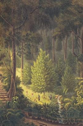 Nootmuskaatpluk op Banda (bron: aquarel Q.M.R. Ver Huell)